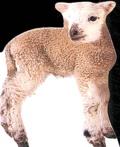 Collectif - L'agneau.