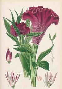 Désiré Bois - Carnet Blanc Celosia Cristata, dessin 19e siècle.