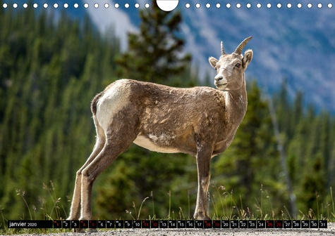 Faune Canadienne (Calendrier mural 2020 DIN A4 horizontal). À la rencontre de la faune ouest-canadienne. (Calendrier mensuel, 14 Pages )