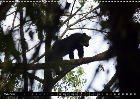 L'OURS DES ANDES. Espèces Menacées (Calendrier mural 2020 DIN A3 horizontal). Sur la piste de l'ours des Andes, dans les hautes montagnes de l'Equateur. (Calendrier mensuel, 14 Pages )