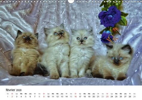 Pattes de velours (Calendrier mural 2020 DIN A3 horizontal). Séance photos de chatons (Calendrier mensuel, 14 Pages )