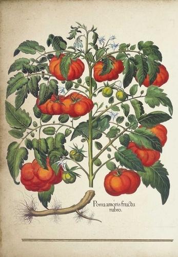 La tomate. Mon carnet de recettes